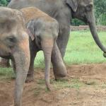 Two of ENP's matriarchs and a baby elephant injured by an animal trap