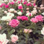 Patio roses in Stewarts Christchurch's indoor plants area