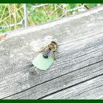 leaf-eater bee