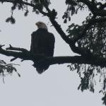 One of the bald eagles we saw