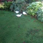 Ducks looking for slugs in the garden