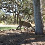 Deers 3