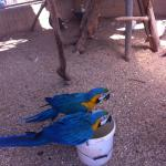 Brief sighting of the macaws while they had a drink