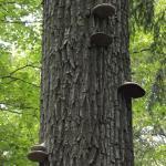 funghi degli alberi