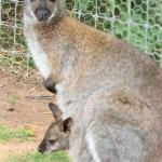 Baby Wally - cosying up to mum
