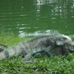 Iguana acasalando