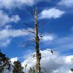 dead tree nesting