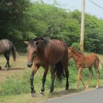 Horses were loose all over the island, including the towns