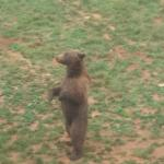 Un oso pidiendo comida