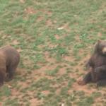 Los osos en su hábitat natural