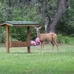 A deer at the lodge feeder