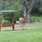 The deer leaving the feeder