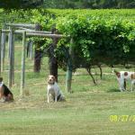 Dogs in the Vinyard