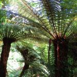 Trewidden tree ferns