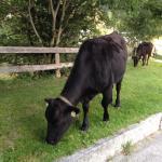 Los lopende koeien
