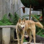 Sled dog at Sun Dog Kennels