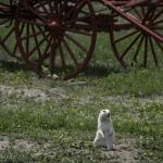 White prarie dog at the Homestead near the Badlands