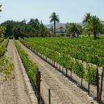 It is harvest time in the Santa Barbara Wine Region of Santa Ynez.