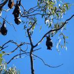 Cascade Gardens resident bats