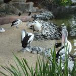 Pelicans at Seaworld