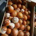 Arrivage rare pour les fins gourmets de ce champignon hors du commun!🌟 Les premiers de la sa