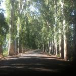 asırlık okalüiptüs ağaçlı yol 1