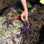 purple seastars