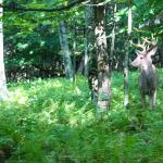 deer behind campsite