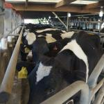 The cows are feeding while waiting to be milked