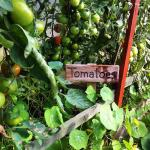 Tomatoes in the polytunner