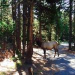 elk in camground
