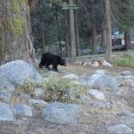 Bear in walking through our campsite