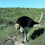 Ostriches in the Cape of Good Hope reserve