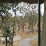 Giraffe outside our permanent tent