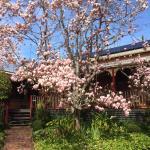 Magnificent Magnolia Tree in Bloom