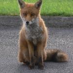 fox at breakfast