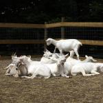 Goats relaxing in the goat pile