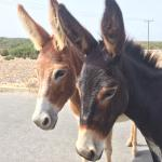 Golden Sands Wild Donkeys