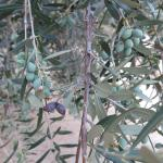 Olive trees, hundreds of them. Feels like Italy.