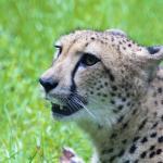 Cheetah mo
