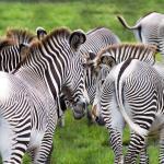Herd of Grevy's zebra