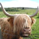 feeding breakfast to one of the highland cattle!