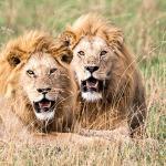 Lions near Kati Kati Camps