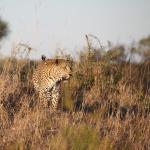 Bild från Londolozi Tree Camp