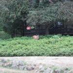 local deer looking for food
