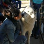Our ambassador Wolfdog, Tala