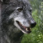 Wolf Conservation Center Foto