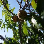 owoce w ogrodzie hotelowym