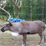 Resident Caribou