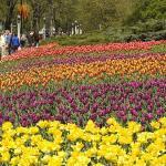 Ottawa Tulip Festival Flowers